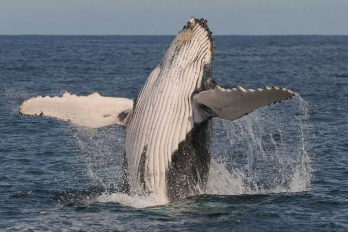 A whale leaping out of the water
